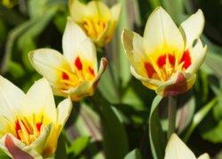 Тюльпаны Зомби оптом