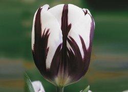 Красивые тюльпаны Zurel оптом