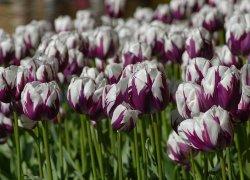 Большие тюльпаны Зюрел к 8 Марта
