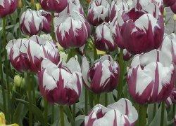 Лучшие тюльпаны Зурел онлайн